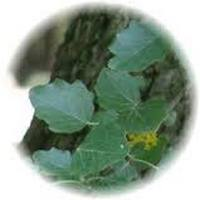 Chopo o Carpe - Black Poplar - Carpinus Betulus