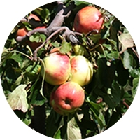 Manzano - Apple tree - Pommier