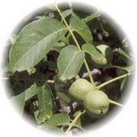 Nogal - Walnut tree - Noyer